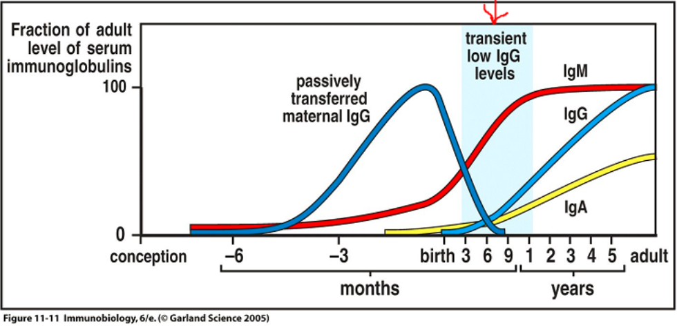 Fetus WBC Development